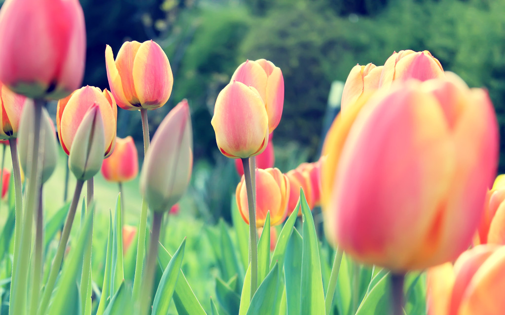 easter_tulips-wide